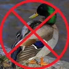 ceci n'est pas un canard